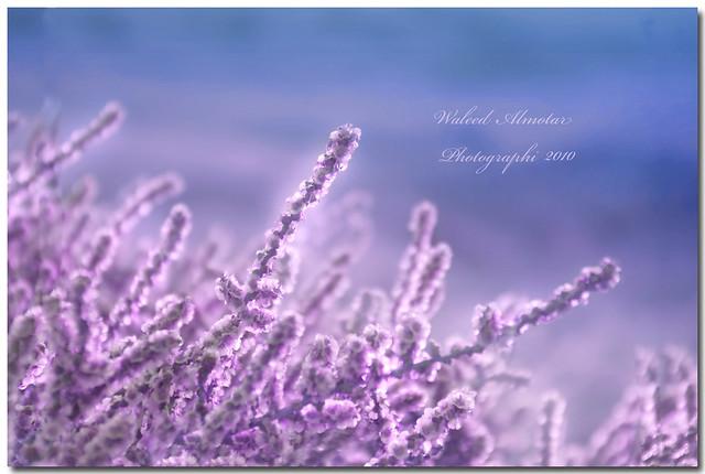 Purple Life حياة بنفسجية