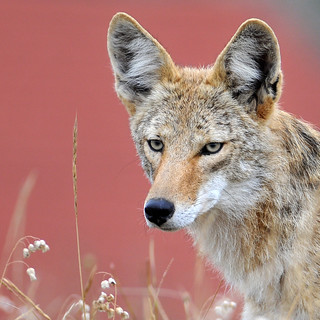 """coyote 