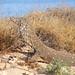 Varanus giganteus - Photo (c) Bill & Mark Bell, algunos derechos reservados (CC BY-NC-SA)