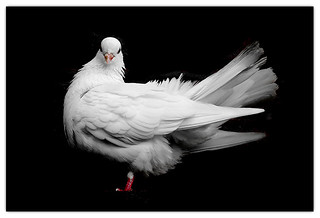 Dove at Alnwick Castle | by Chris - The tardy photographer