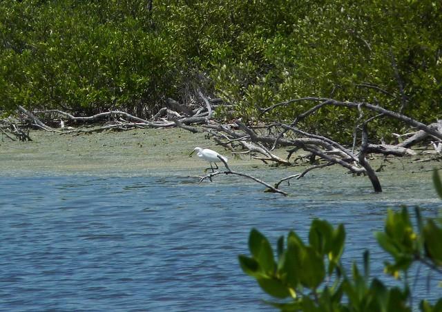 Snowy egret at Isla Contoy P1080749