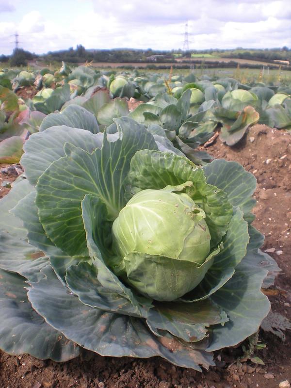 Er. Cabbage?