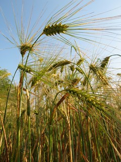 Barley (Hordeum vugare L.) at Gatersleben | by Dag Endresen