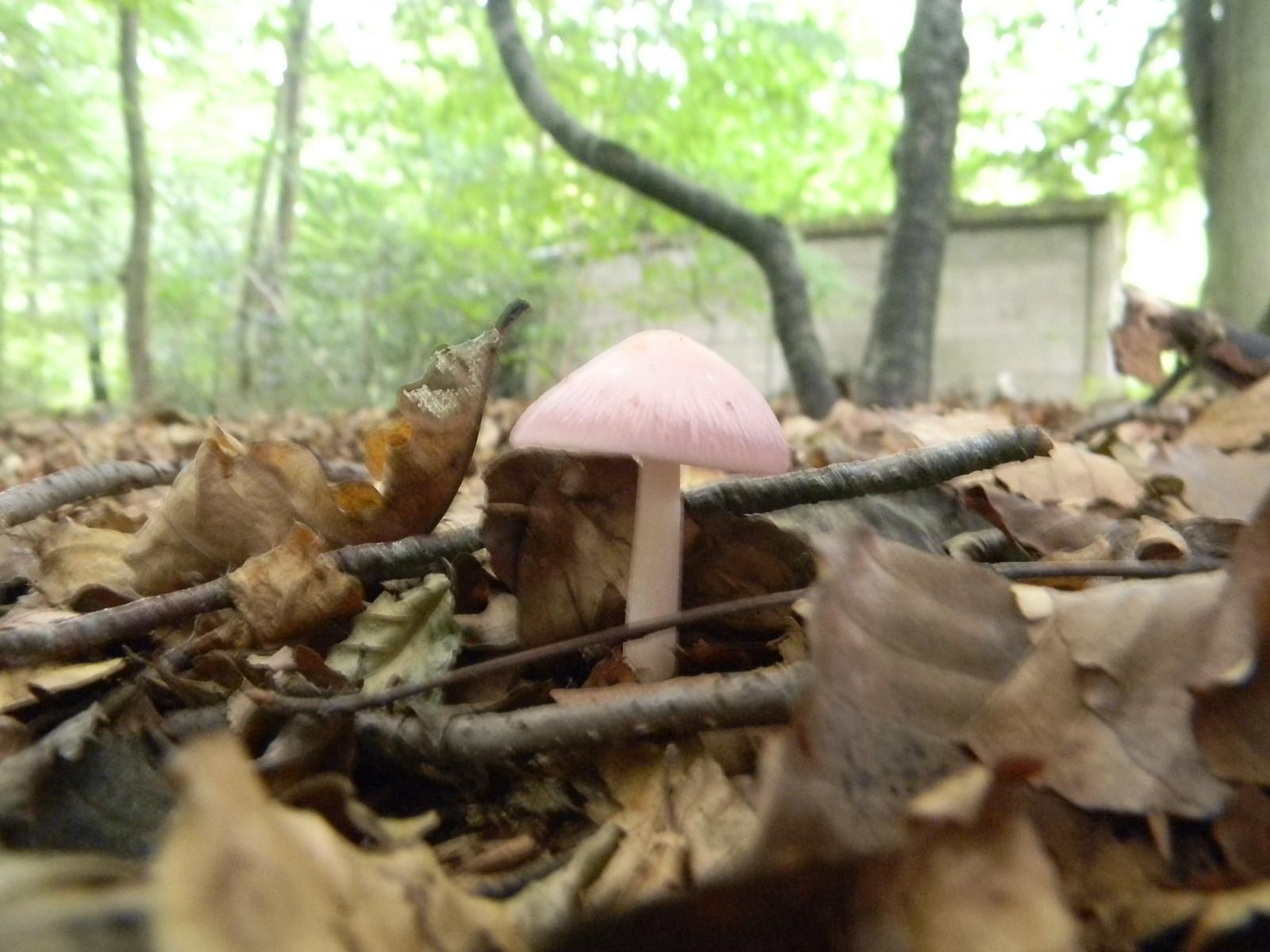 Pink toadstool Saunderton Circular via Bledow