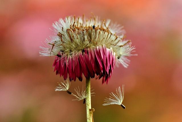 Fall, autumn !! (Rhodanthe chlorocephala subsp. rosea, Paper daisy, Rosy everlasting Flower)