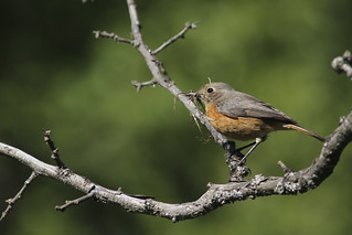 Common Redstart (Rödstjärt) | by laser-tomas