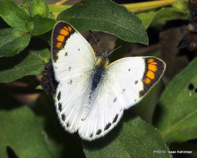 SMALL ORANGE TIP(f), Colotis etrida, Great Rann of Kutch, Gujarat, India