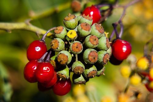 Nightshade and ivy berries