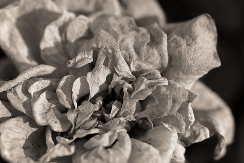 Fading Flower | by tehgipster