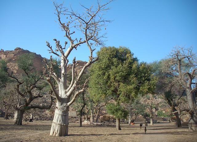 Baobab Trees in Dogon Land, Mali