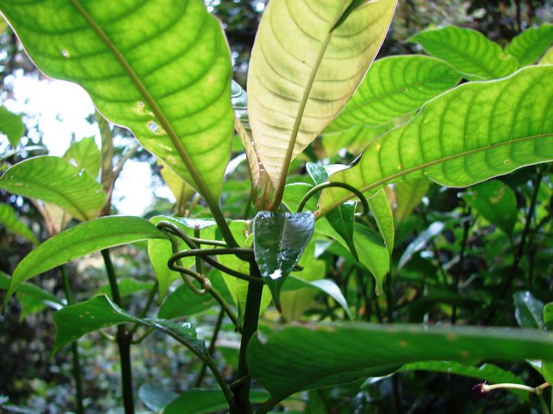 Indeterminada_Monteverde_Costa Rica