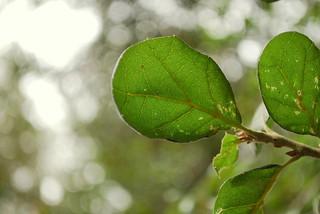 oak leaves | by zebrabelly