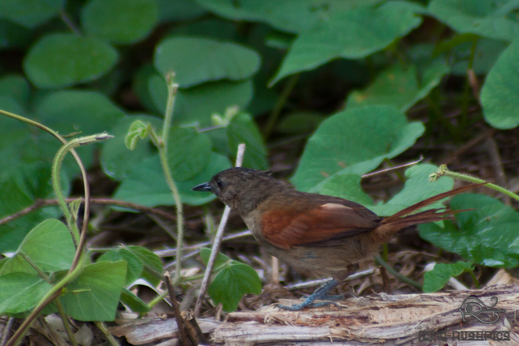Plain-crowned spinetail IMG_9600