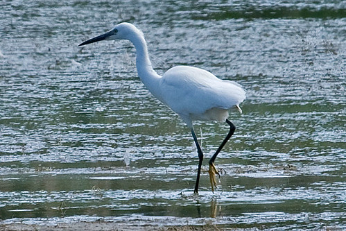 020023-IMG_9858 Little Egret  (Egretta garzetta) | by ajmatthehiddenhouse