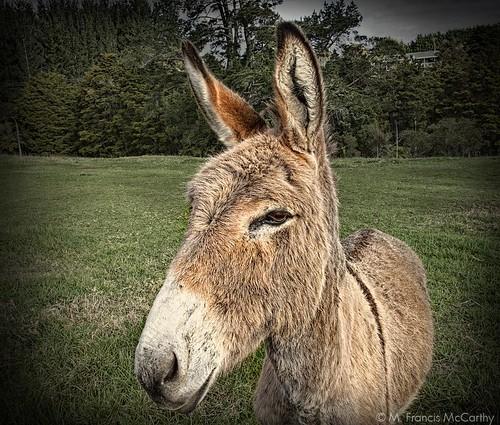 Donkey | by M Francis McCarthy