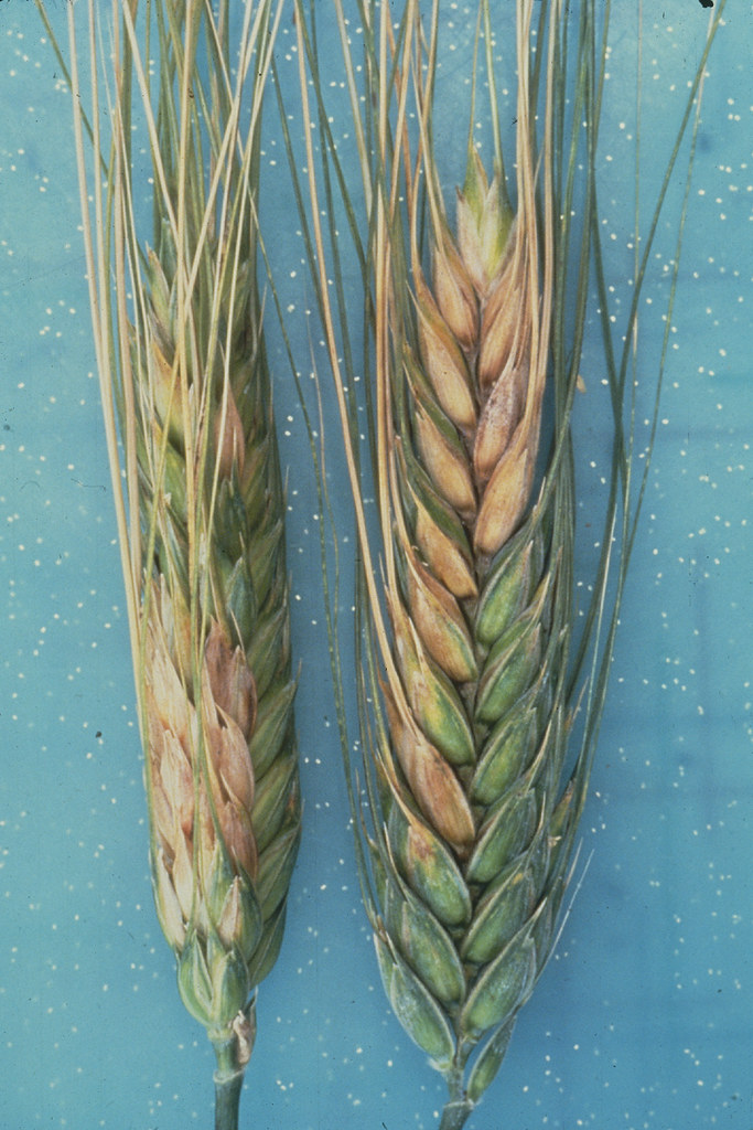 Head scab on wheat | Wheat spikes infected with head scab, c