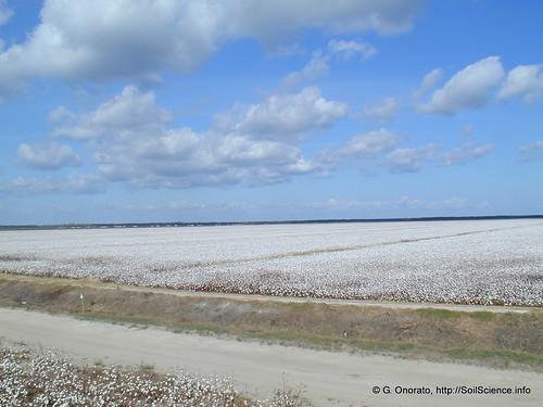 cotton opengroundsfarm gabrieleonorato