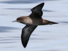 Sooty Shearwater, Scilly pelagic, 8-Aug-10 by Dave Appleton