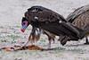 White-headed Vulture (Trigonoceps occipitalis)  Juv by Ian N. White