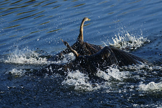 Anhinga Fight | by Dave 2x