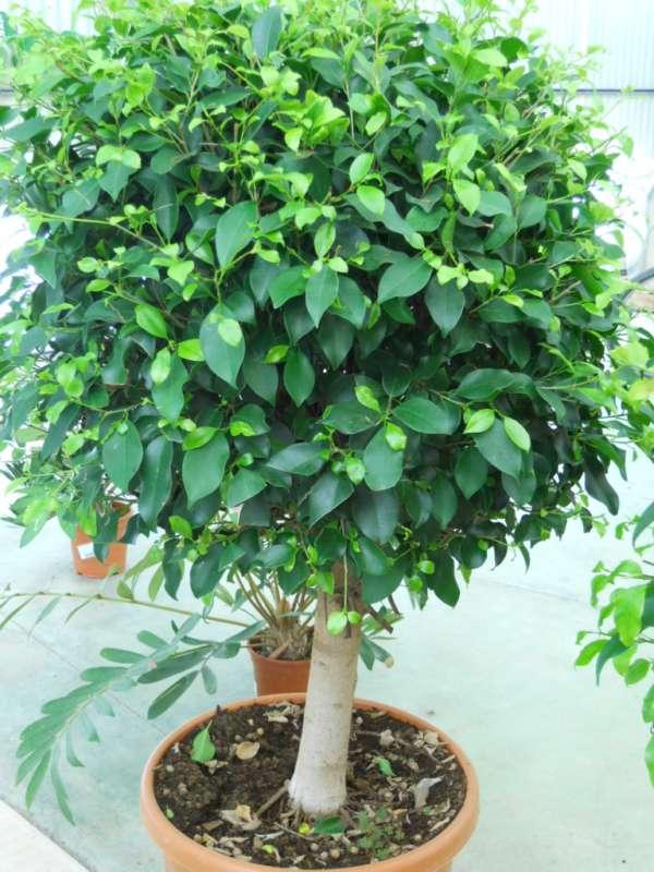 Ficus nitida v 1
