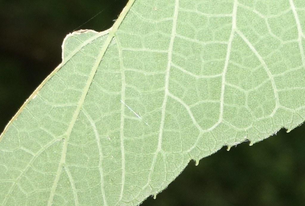 Celtis douglasii (= Celtis reticulata)