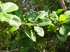 Terminalia catappa (Tropical or Beach Almond)
