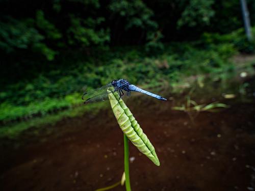 olympus air a01 photones takuma kimura 木村 琢磨 風景 景色 自然 landscape nature snap insect dragonfly 虫 蜻蛉 トンボ 木村琢磨