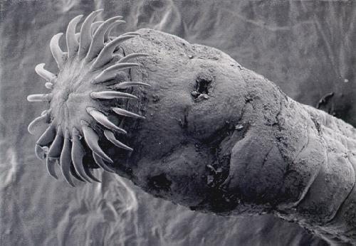 tapeworm_head