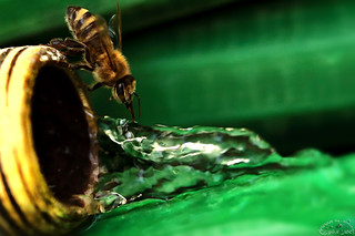 Thirsty Bee (Explored)   by Ammar Al-Fouzan