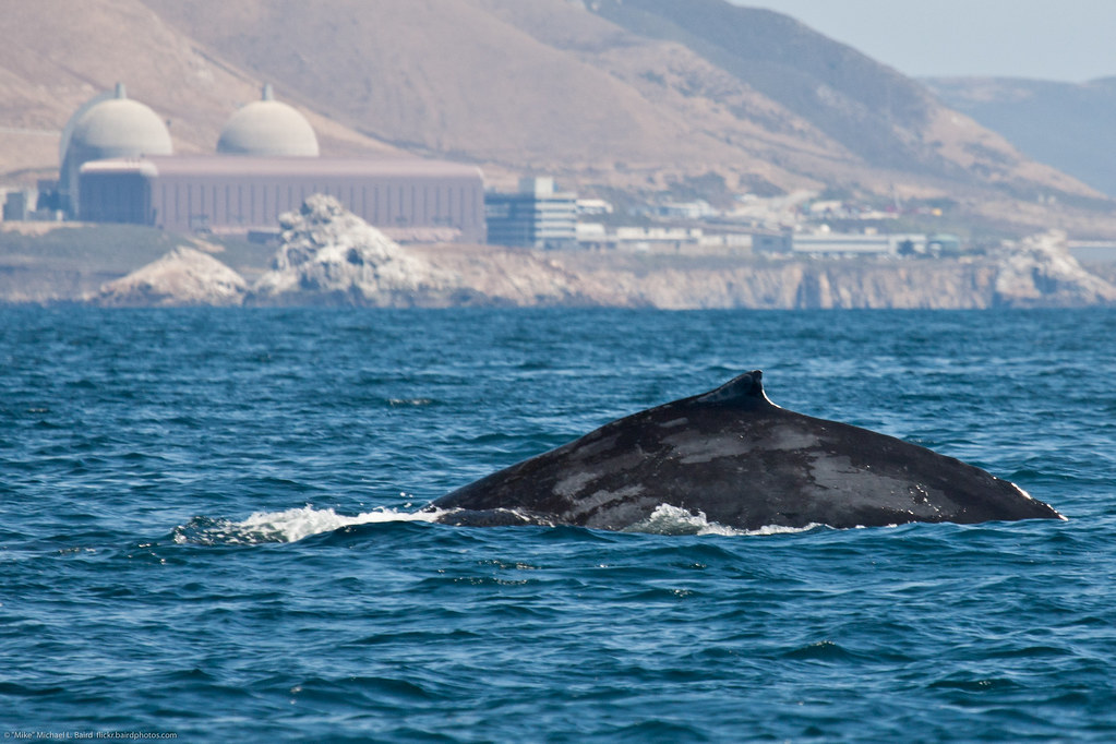 shown here is a humpback whale  megaptera novaeangliae  at