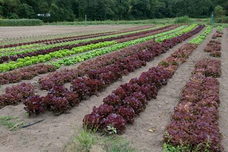 Lettuce Field | by photofarmer
