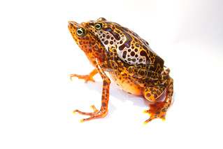 Atelopus certus - Toad Mountain Harlequin Frog | by brian.gratwicke