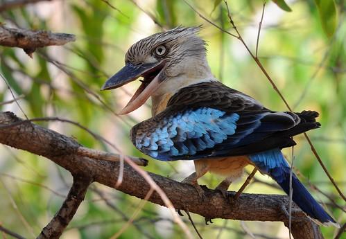Male Blue-winged Kookaburra   by mark.photos
