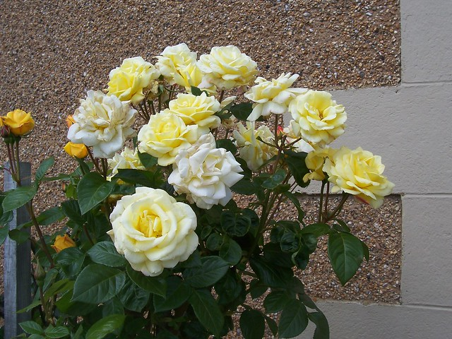 Yellow and White Roses, Inverness, 21st June 2008