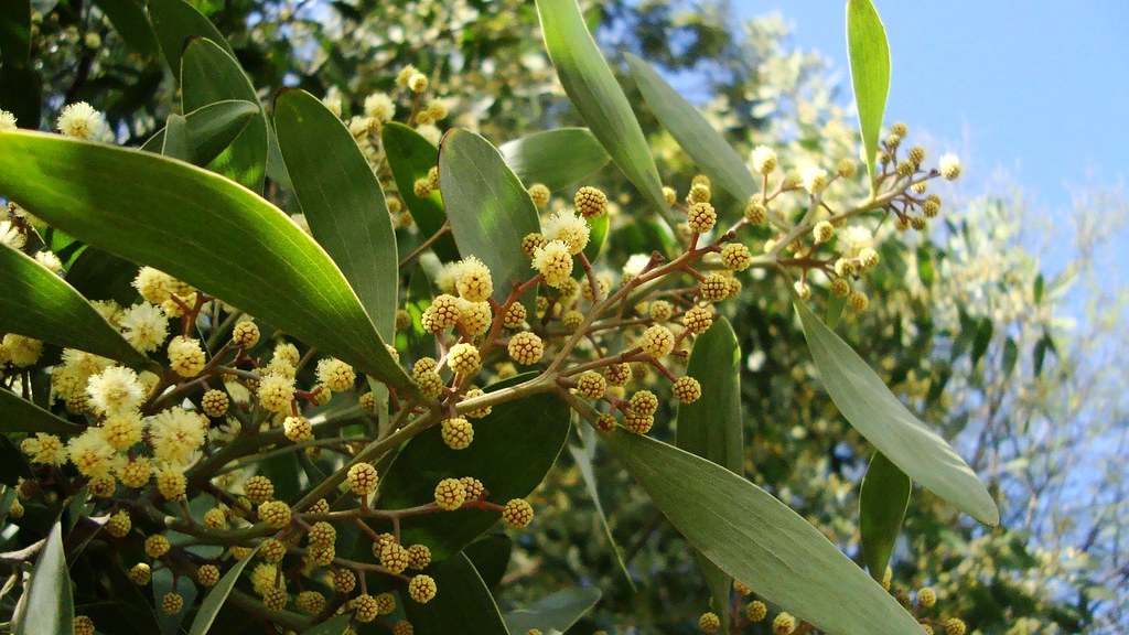 Aromo Australiano Acacia Melanoxylon Pablo Oyarzún Flickr