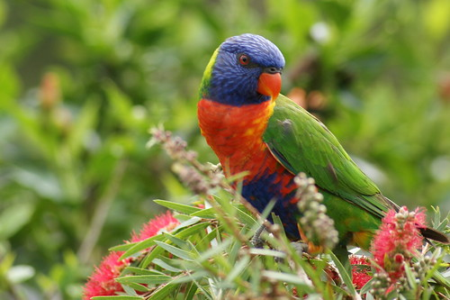 Rainbow Lorikeet | by Andrew G Young