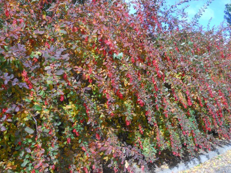 Seto de agracejo en jardín otoñal