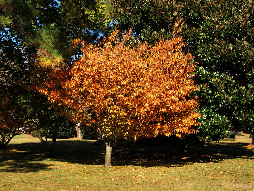 Fall Tour of Leaves - Pine Valley, Wilmington, NC - Nov ...