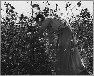 Near Coolidge, Arizona. Gathering lint, 11/1940