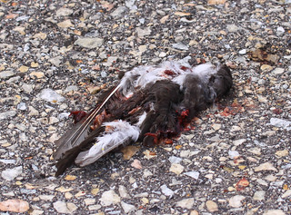 Young Tree Swallow killed by car on Goose Pond Road. | by Laura Erickson