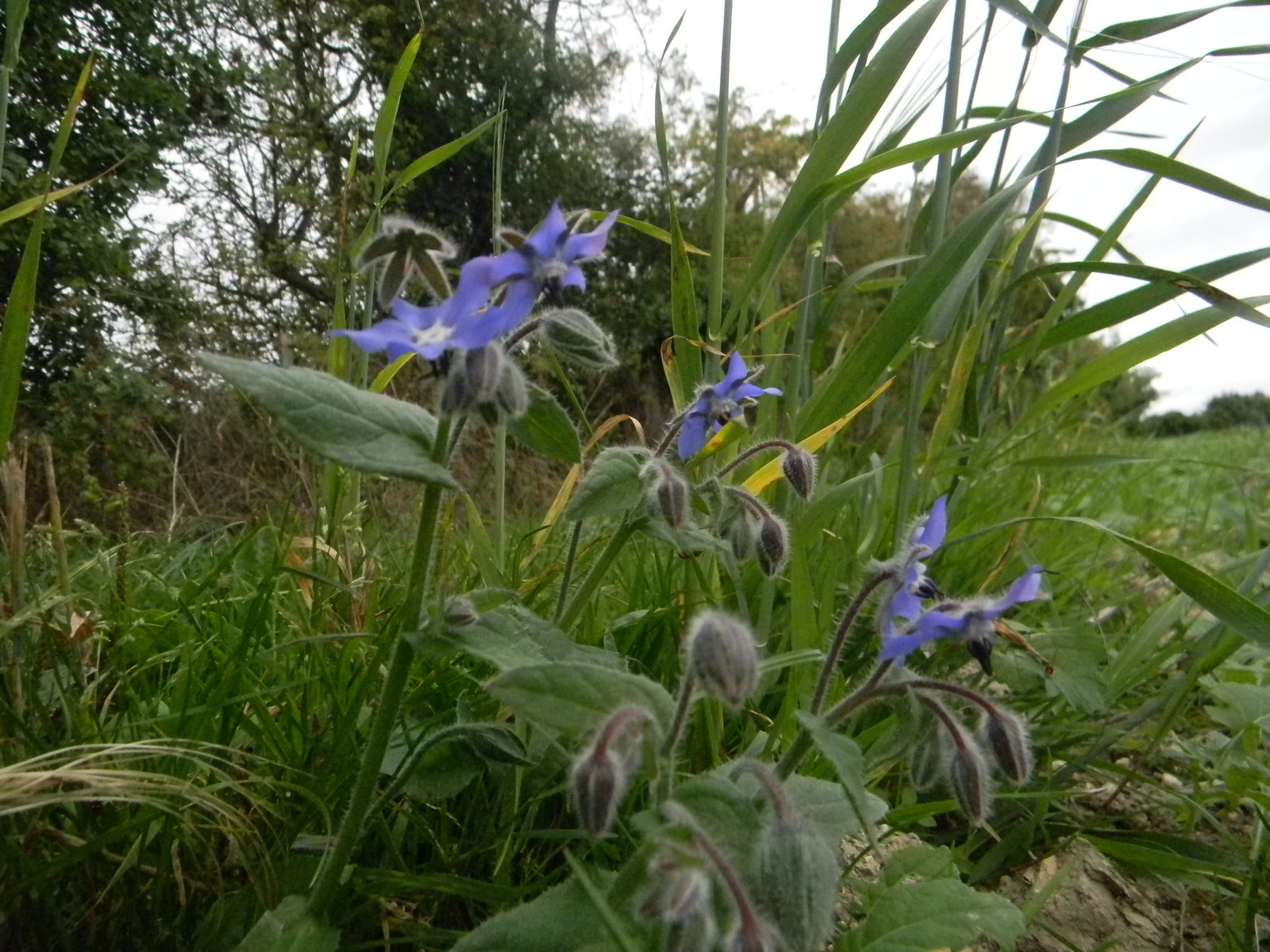 Borage Saunderton Circular via Bledow