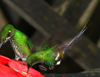 Male Green Thorntail (Discosura conversii) and female Green-Crowned Brilliant (Heliodoxa jacula). | by troupial