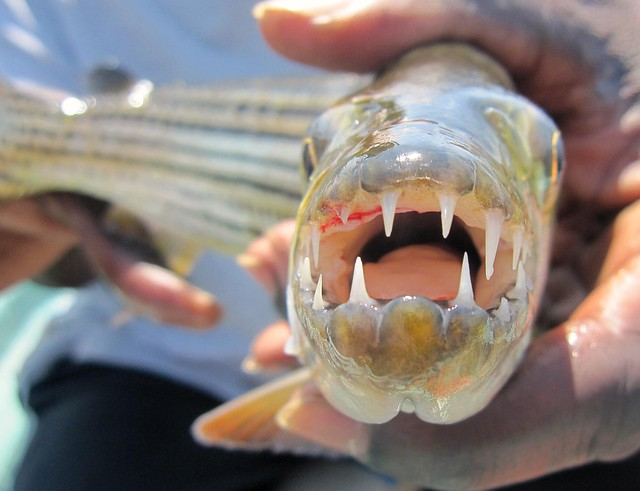 Lake Kariba, Zambia - Fishing for Tigerfish With Santa - v11