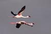 Lesser Flamingo, Phoenicopterus minor, Kleinflamink  by Peet van Schalkwyk
