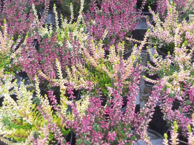 Calluna vulgaris 'Boskoop' 1