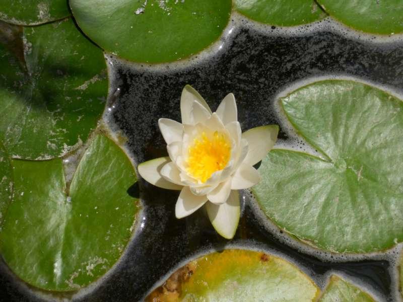 Nymphaea odorata 1