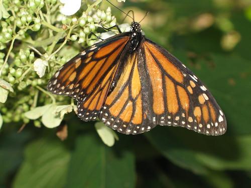 butterfly monarch monarchbutterfly danausplexippus