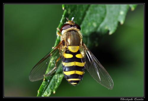 Syrphus vitripennis (Syrphe du groseiller)