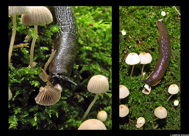 20100731_08 Slug munching on mushroom near Lärjeån, Gothenburg, Sweden